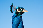 A beautiful blue bird with a crown of feathers on it's head against a blue sky, South Shields, Tyne and Wear, England