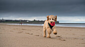 A cockapoo running on the beach with a red ball in it's mouth, South Shields, Tyne and Wear, England