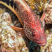Freckled Hawkfish Paracirrhites forsteri resting on algae, covered dead coral that has been scraped by the feeding action of a parrotfish photographed while scuba diving the Kona coast, Kona, Island of Hawaii, Hawaii, United States of America