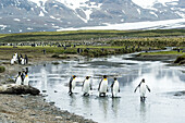 King penguins Aptenodytes patagonicus wading in shallow water, South Georgia, South Georgia and the South Sandwich Islands, United Kingdom
