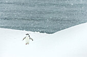 Chinstrap penguin Pygoscelis antarctica in a snowfall, Half Moon Island, South Shetlands, Antarctica