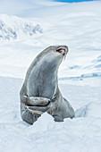 Southern Elephant Seal Mirounga leonina looking up with mouth open, Neko Harbour, Antarctic Peninsula, Antarctica