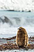 Juvenile King penguin Aptenodytes patagonicus, Antarctica