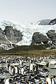Colony of King penguins Aptenodytes patagonicus in the water and on the shore with ice and snow on the mountains, Antarctica