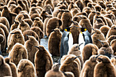 Colony of juvenile King penguins Aptenodytes patagonicus, Antarctica