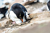 Gentoo penguin Pygoscelis papua sitting on an egg