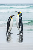 King Penguins Aptenodytes patagonicus standing together on the beach at the water's edge