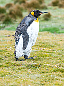 King Penguin Aptenodytes patagonicus walking on grass