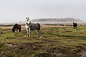 Wild horses standing in a foggy field