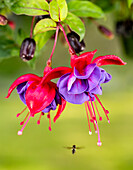 Close up of fuchsia and insect in garden, South, central Alaska, Eagle River, Alaska, United States of America