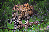 Male Leopard panthera pardus walking through the trees, Sabi Sand Game Reserve, South Africa