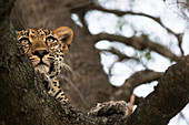 Leopard panthera pardus lounging in a tree looking for it's next meal, Sabi Sand Game Reserve, South Africa
