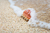 A close up of a cowry shell on the beach, St. Croix, Virgin Islands, United States of America