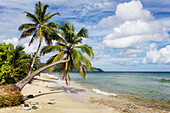 A gorgeous palm tree stretches out over the beach, St. Croix, Virgin Islands, United States of America