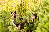 Wild horses standing in the bush, Sundre, Alberta, Canada