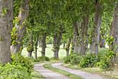Avenue of limetrees near Groß Moordorf in Bisdorf, Baltic Sea Coast, Mecklenburg-Western Pomerania, Northern Germany, Germany, Europe