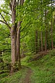 Walking track around Haina monastery through Stamford's garden with sycamore maple trees (Acer pseudoplatanus) Haina, Hesse, Germany, Europe