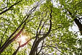 Walking track around Haina monastery through Stamford's garden, view up to the tree tops of bahorn trees (Acer pseudoplatanus) Haina, Hesse, Germany, Europe