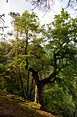 Giant beech tree (Fagus sylvatica) in the beech forest at Kellerwald-Edersee National Park in summer, Lake Edersee, Hesse, Germany, Europe