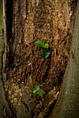 Close-up of freshly grown beech tree leaves (Fagus sylvatica) in an old tree stump in Kellerwald-Edersee National Park, Lake Edersee, Hesse, Germany, Europe