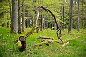 Weathering oak (Quercus petraea) branch amidst beech (Fagus sylvatica) trees with spring foliage near Bringhausen in Kellerwald-Edersee National Park, Lake Edersee, Hesse, Germany, Europe