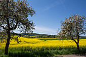 Blossoming apple trees in front of a yellow blooming canola field, Zueschen, Fritzlar, Hesse, Germany, Europe