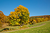 Field maple (Acer campestre) in autumn on a country road Altenlotheim, Hesse, Germany, Europe