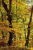 Beech tree (Fagus sylvatica) with autumn foliage in the beech forest of Kellerwald-Edersee National Park Lake Edersee, Hesse, Germany, Europe