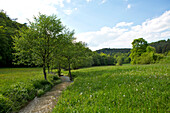Young beech trees (Fagus sylvatica) and alder trees (Alnus glutinosa) grow along the banks of a field stream near Frankenau, Hesse, Germany, Europe