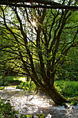 Weeping willow (Salix fragilis) growing in a field stream with alder (Alnus glutinosa) branches in the foreground near Frankenau, Hesse, Germany, Europe