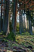 An oak tree (Quercus petraea) between spruce trees (Picea abies) near Frankenau, Hesse, Germany, Europe