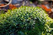 Grünes Moos unter leichten Frost, Nordhessen, Hessen, Deutschland, Europa