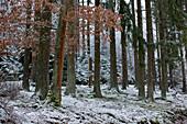 An oak tree (Quercus petraea) between spruce trees (Picea abies) during light snowfall near Frankenau, Hesse, Germany, Europe