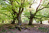 Old common beech trees (Fagus sylvatica) used to feed livestock in Hutewald Halloh wood pasture forest Albertshausen, Hesse, Germany, Europe