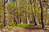 Sessile oak tree (Quercus petraea) in a forest of forest pines (Pinus sylvestris) Bad Wildungen, Hesse, Germany, Europe