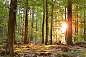 Mix forest of oak trees, Quercus robur, beech trees, Fagus sylvatica and pine trees, Picea at sunrise Hesse, Germany, Europe
