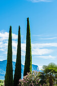 Cypresses and palms grow in the mild climate, Tramin, South Tyrol, Italy