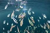 Freediver and Shoal of Sergants, Abudefduf sexfasciatus, Raja Ampat, West Papua, Indonesia