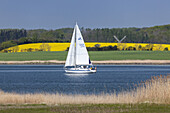 Sailing boats on the Schlei and a field of rape, Arnis,  Baltic coast, Schleswig-Holstein, Northern Germany, Germany, Europe