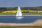 Segelboote auf der Schlei zur Rapsblüte, Arnis, Ostseeküste, Schleswig-Holstein, Norddeutschland, Deutschland, Europa
