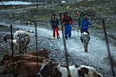 Four young skier walking past a cow herd, Gudauri, Mtskheta-Mtianeti, Georgia