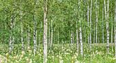 Blick in einen grünen Birkenwald im Sommer, Värmland, Schweden