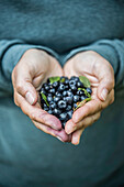 close up of hands of a woman with collected blueberries, Gavle bay, Gavleborgs Ian, Sweden