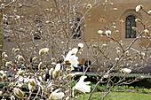 Magnolias in bloom, Kabinett garden, Munich, Munich, Bavaria, Germany