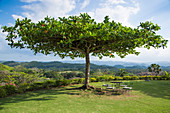Tree on lawn at Good Hope Estate near Falmouth, Saint James, Jamaica