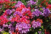 Purple and red bougainvillea in gardens of Half Moon Resort Rose Hall, near Montego Bay, Saint James, Jamaica