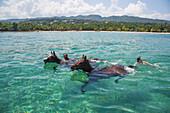 Horses swim in Caribbean Sea during Half Moon Resort horseback ride excursion Rose Hall, near Montego Bay, Saint James, Jamaica