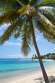 Palm tree along beach in front of West Cottages at Half Moon Resort Rose Hall, near Montego Bay, Saint James, Jamaica
