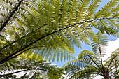 sunlight through tree fern, from below, fern fronds, plant green, New Zealand