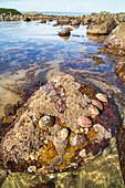 abalone shells, live pauas on rocks, local delicacy, rockpools, marine, nobody, Monkey Island, South Island, New Zealand